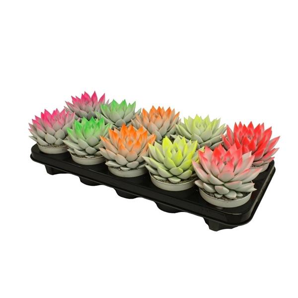 <h4>Echeveria bicoloured neon mix</h4>