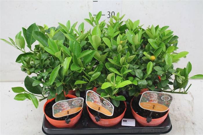<h4>Citrus Calamondin Mini Stam</h4>