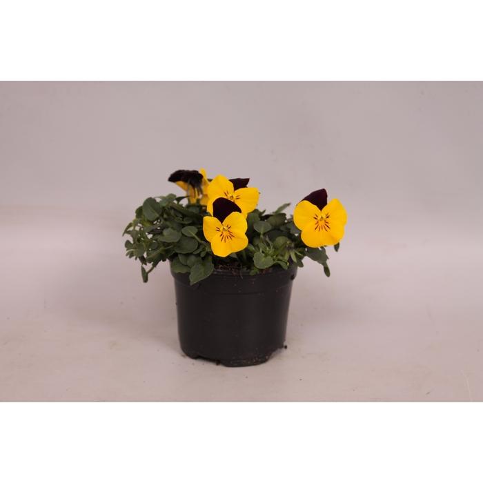 <h4>Viola cornuta F1 Yellow with red wing</h4>