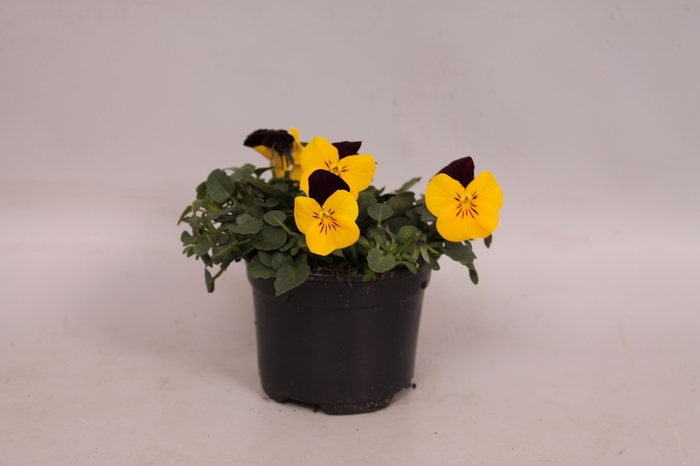 <h4>Viola cornuta F1 Yellow with red wing</h4>