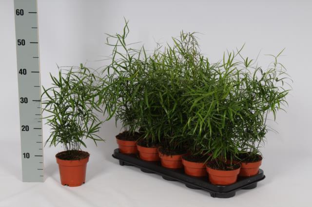 <h4>Asparagus Falcatus 12Ø 35cm</h4>