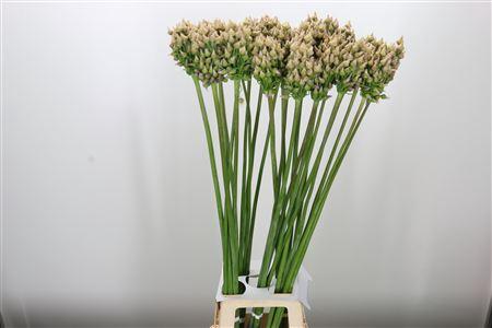 <h4>Allium After Bells</h4>