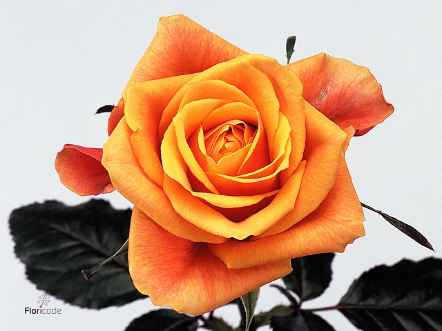 Rosa Gr. Cherry Brandy