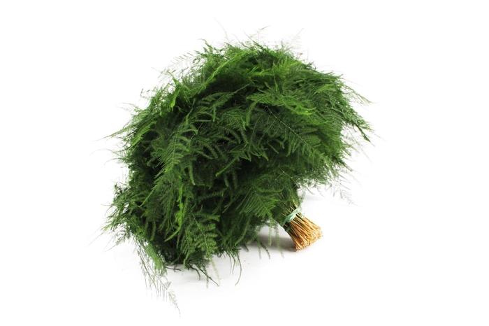 <h4>Asparagus Setaceus 1e Veren</h4>