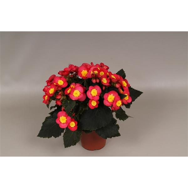 <h4>Begonia el. Valentino Pink</h4>
