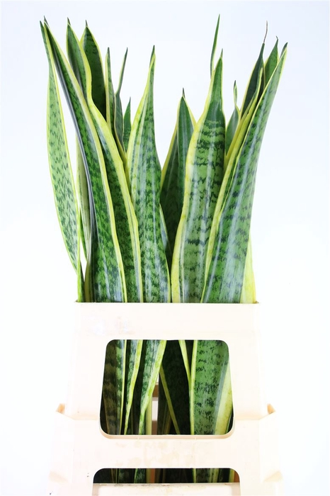 <h4>Sanseveria Golden Cobra (mg)</h4>