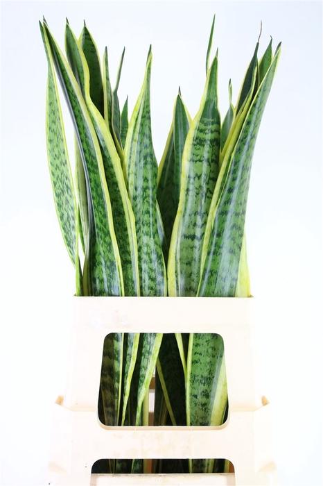<h4>Sanseveria Golden Cobra (mg)</h4>