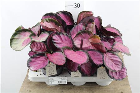 <h4>Calathea Roseopicta</h4>