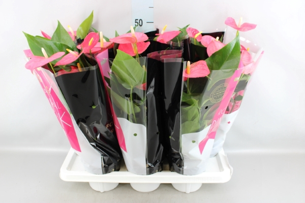 <h4>Anthurium andr. 'Colorado'</h4>