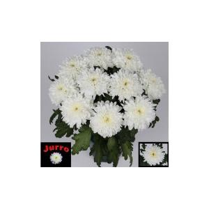 Chrysanthemum mono Zembla White