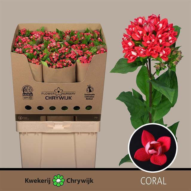 <h4>Bouvardia Daimond Coral</h4>