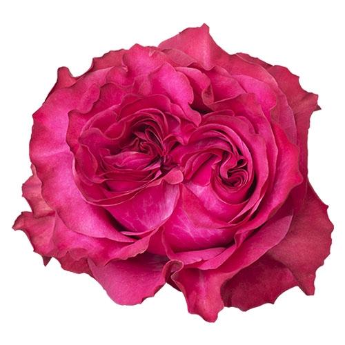 <h4>R Gr Country Blues Pink 50cm EC</h4>