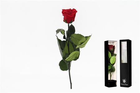 <h4>Pr 6 Red-02 Stem (70cm)</h4>