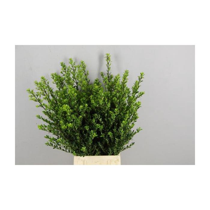 <h4>Ilex Green Hedge</h4>