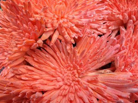 <h4>Chr G Ana Snow Orange</h4>