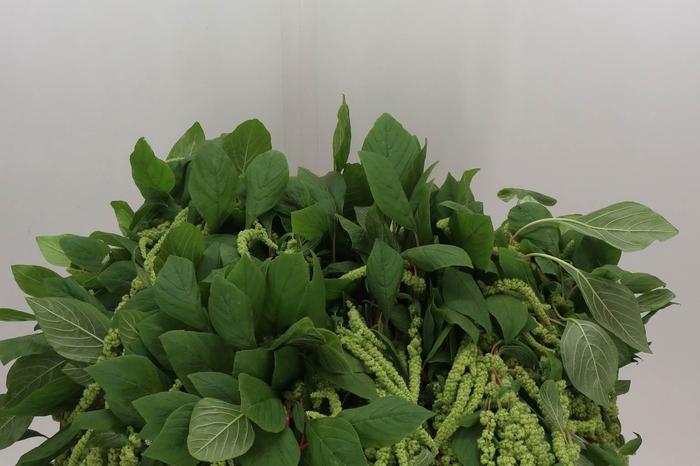 <h4>Amaranthus Ca Green Cordyline</h4>