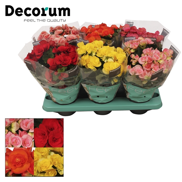<h4>Begonia gemengd in tray(5 kleuren)</h4>