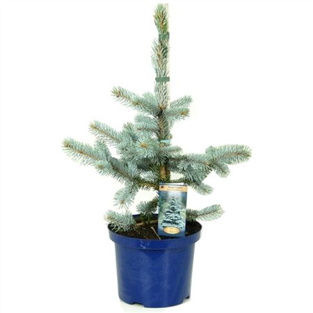 <h4>Picea Pungens Hoopsii</h4>