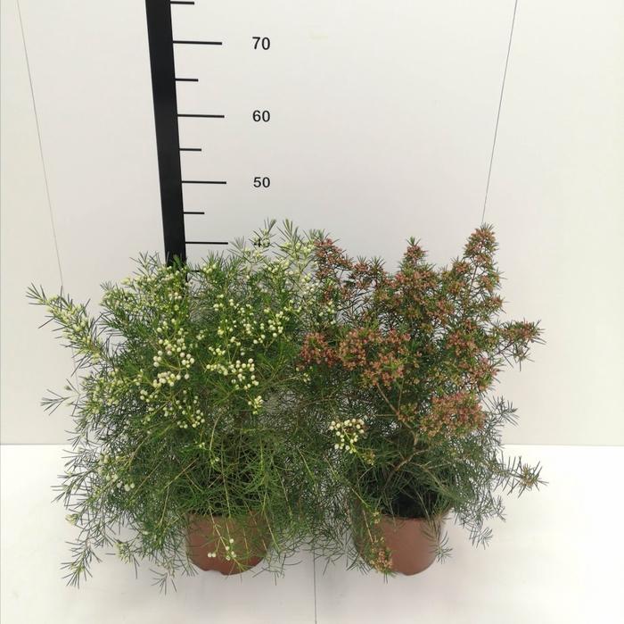 <h4>Flor de cera, Chamelaucium surtidas</h4>
