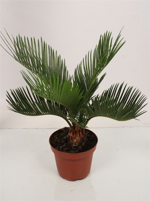 <h4>Cycas Revoluta 5+ Leaves</h4>