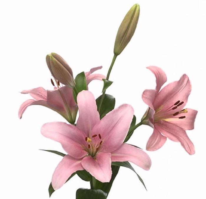 <h4>Lilium LA Brindisi</h4>