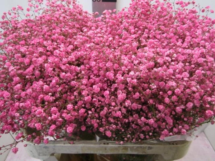 <h4>Gipsophilla Xlence Pink</h4>