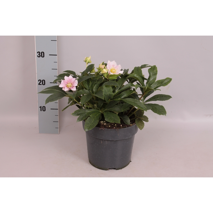 <h4>Helleborus Double Light Rose</h4>
