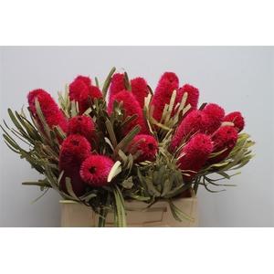 Banksia Attenuata Pink
