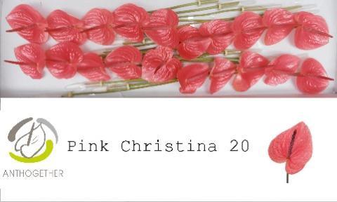 <h4>Anthurium (Andreanum Grp) 'Pink Christina'</h4>