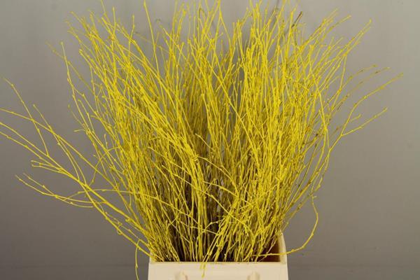 <h4>Betula Bs Paint Yellow Fst</h4>