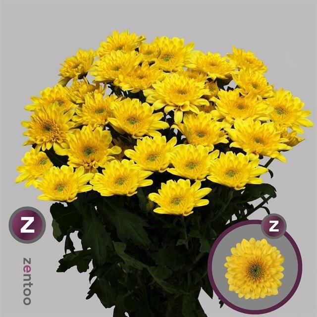 <h4>Chrysanthemum TR 'Sorbet Banana'</h4>