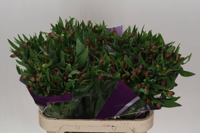 <h4>Alstroemeria Maracana</h4>
