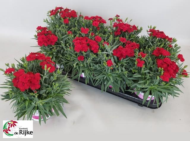 <h4>Dianthus caryophyllus 'Peman Red'</h4>