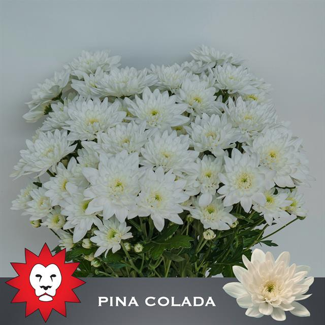 <h4>CHR T PINA COLADA</h4>