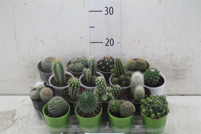 <h4>Cactus Gemengd Keramiek</h4>