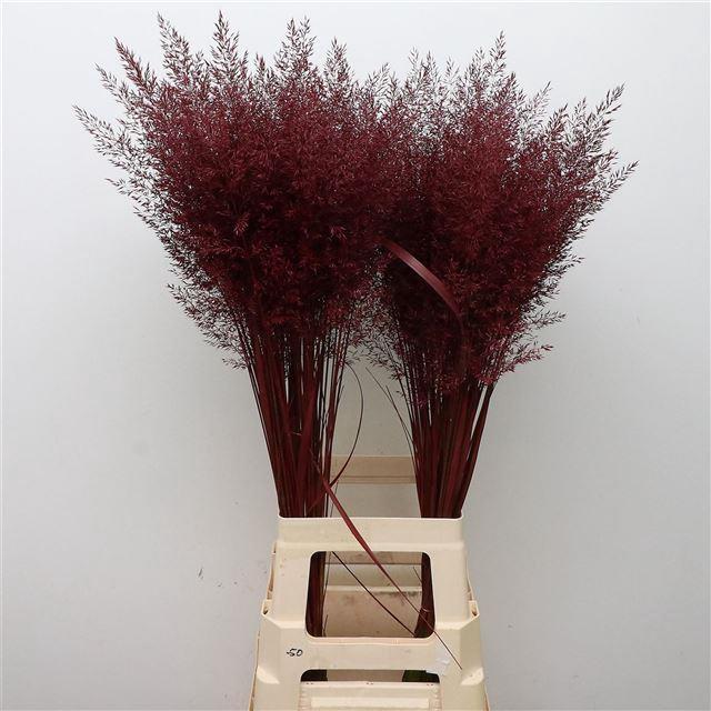<h4>Calamagrostis Brachy Bordeaux</h4>