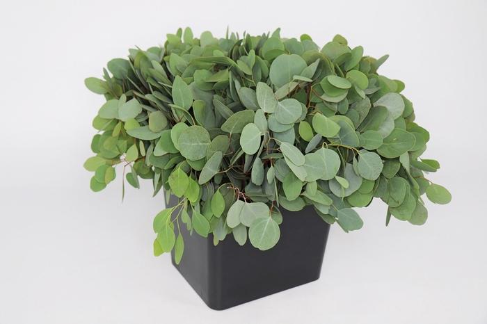 <h4>Eucalyptus Populus</h4>