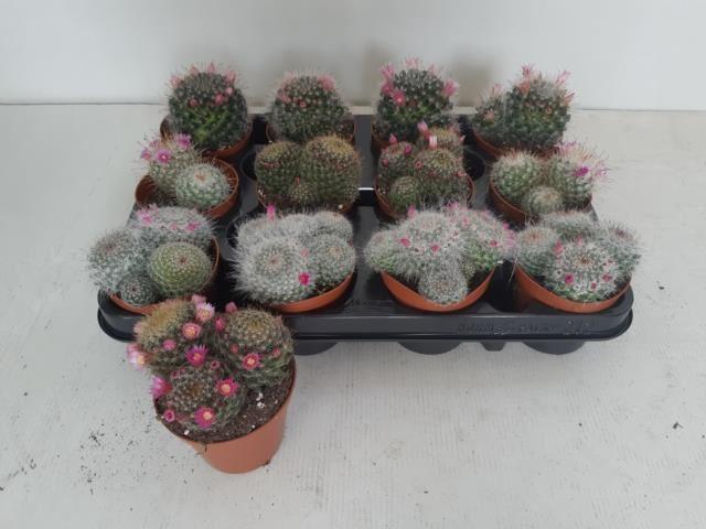 <h4>Cactus bloeiend</h4>