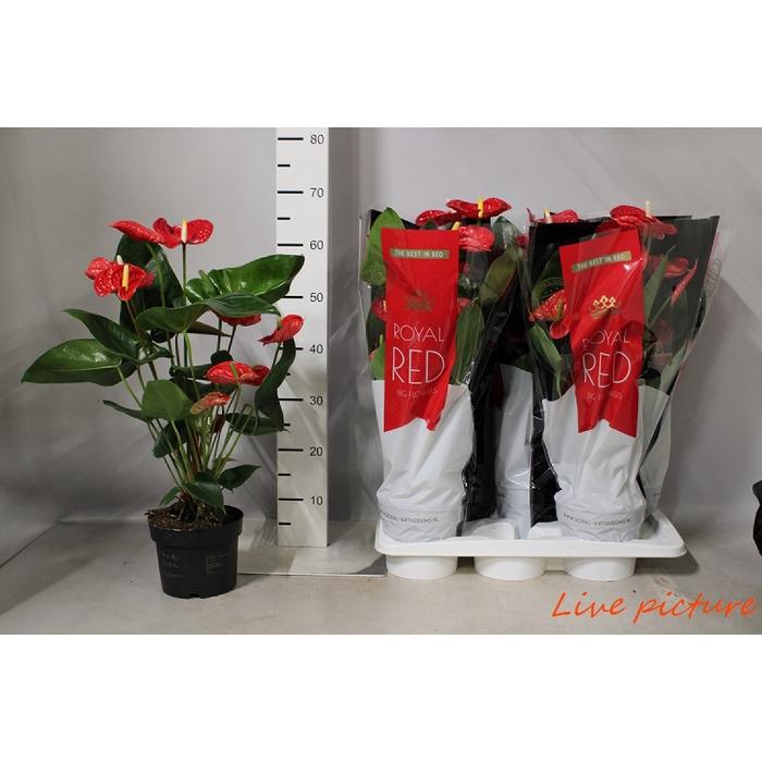 <h4>Anthurium Andr. Madural Red Royal</h4>