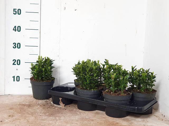 <h4>Euonymus Jap Green Spire</h4>