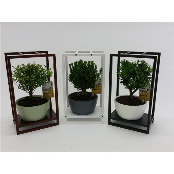 <h4>Bonsai in 'Modern Wooden Frame'</h4>