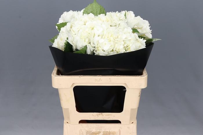 <h4>Hydrangea White Premium</h4>