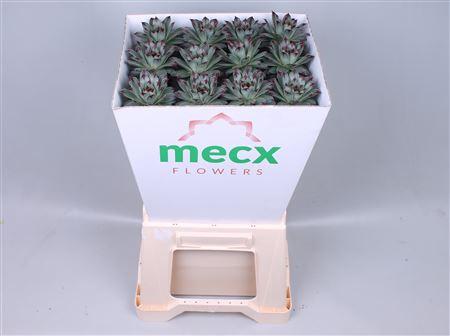 <h4>Echeveria Sempervivum (mecx Flowers)</h4>