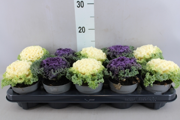 <h4>Brassica oler.  ...curled</h4>
