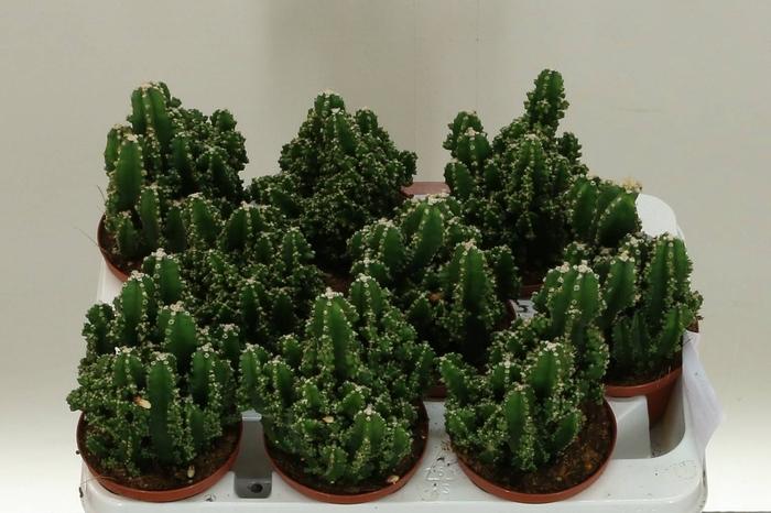 <h4>Cactus Cer. Per. Paolina</h4>