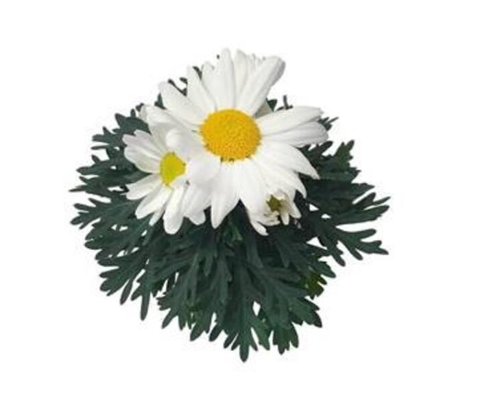 <h4>Argyranthemum fru. Dana</h4>