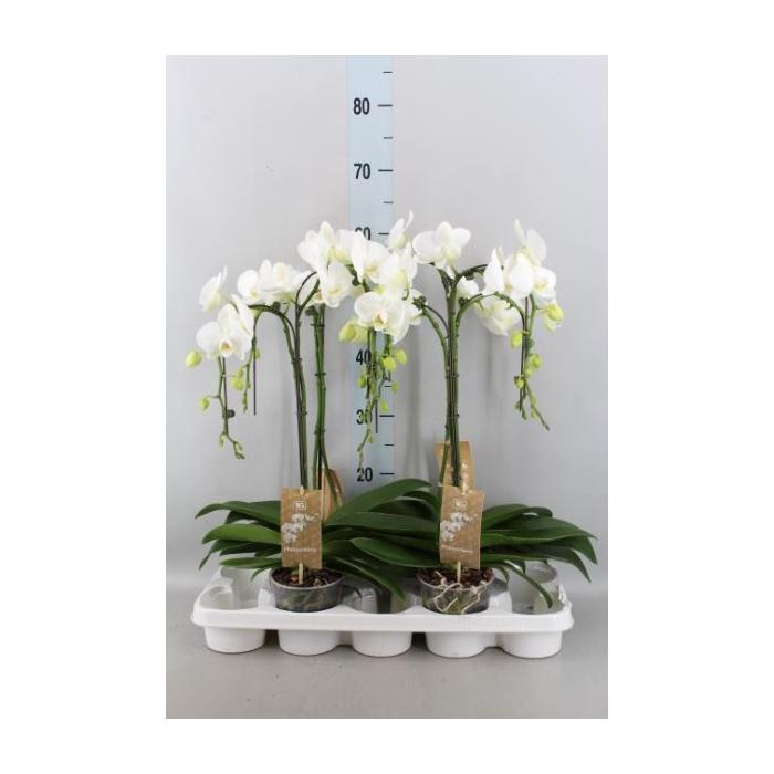 <h4>Phalaenopsis   ...white</h4>