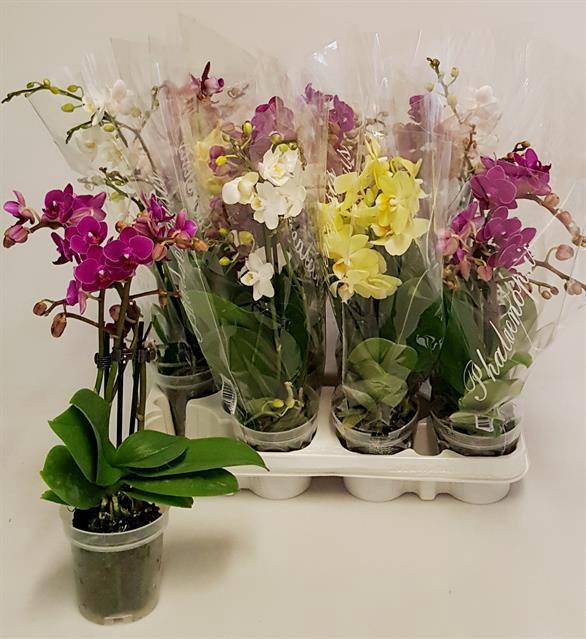 <h4>Phalaenopsis 9Ø 35cm</h4>