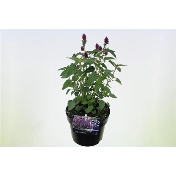 <h4>Agastache Beelicious Purple</h4>