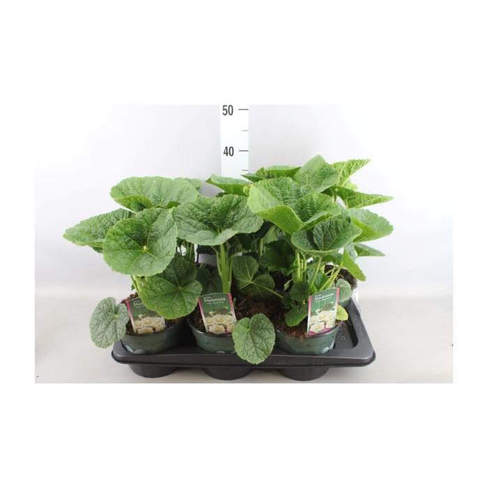 <h4>Alcea rosea</h4>